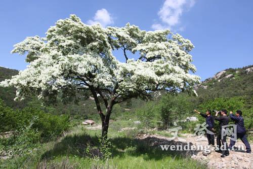位于甘泉寺院内这棵流苏树,树龄120余年,高近9米,在我国北方不多见.